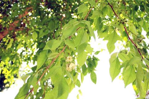 ต้นมะตูม